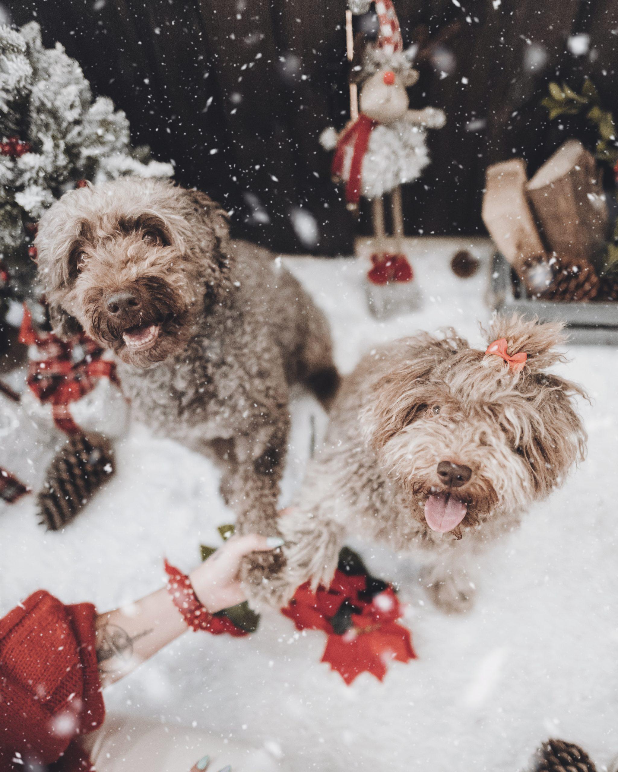 ¿Que Peligros Tiene La Navidad Para Nuestras Mascotas?